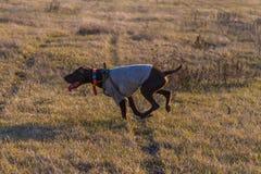 En jaga hund av den kurzhaar deutschen fotografering för bildbyråer