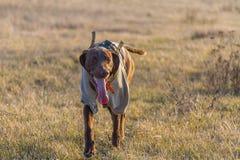 En jaga hund av den kurzhaar deutschen royaltyfri foto