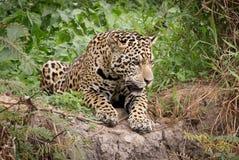 En jaguar Arkivfoto