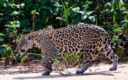 En Jaguar på kringstrykandet Royaltyfri Bild