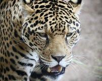 En Jaguar som förföljer dess rov i det löst Arkivbilder