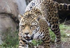 En Jaguar som förföljer dess rov i det löst Royaltyfri Fotografi
