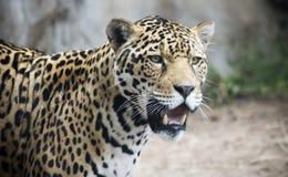 En Jaguar som förföljer dess rov i det löst Royaltyfri Foto