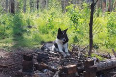 En jakthund som vilar vid brasan Siberia Ryssland Fotografering för Bildbyråer