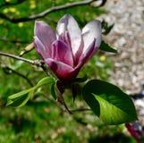En Jane Magnolia Blossom Royaltyfri Fotografi