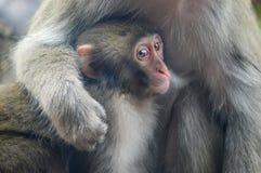 En japansk macaque för moder rymmer henne behandla som ett barn Arkivbild
