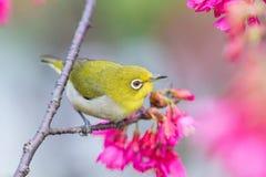 En japansk vit-öga fågel i körsbärsröda blomningar Arkivfoton