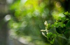 En jasminumblomma med daggdroppar arkivfoton