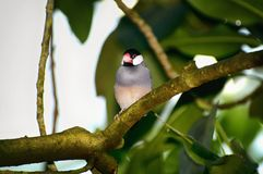 En Java Sparrow också som är bekant som Java Finch och Java Rice Bird Royaltyfria Bilder