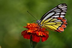 En Jezebel fjäril som sätta sig på den orange blomman Royaltyfri Bild