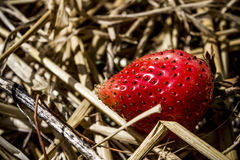 En jordgubbe Royaltyfri Bild