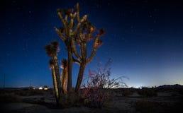 En Joshua Tree i ett fält på natten Fotografering för Bildbyråer