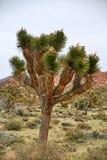 En Joshua Tree i Joshua Tree National Park - Kalifornien Arkivbilder