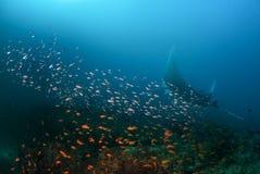 En jätte- oceanisk mantastråle på en lokalvårdstation Arkivfoto