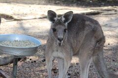 En känguru Fotografering för Bildbyråer