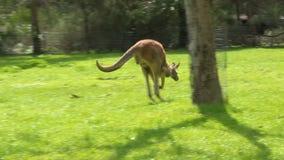 En känguru och ett gräs- fält arkivfilmer
