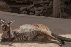En känguru som tycker om av, vilar lite grann arkivfoton