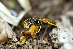 En köttätare Wasp mumsar på rest av en gräshoppa arkivfoton