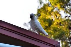 En kakadua på ett tak Fotografering för Bildbyråer