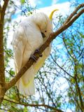 En kakaduafågel i en fågelfristad i Melbourne royaltyfri bild