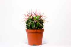 En kaktus Arkivbild