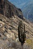 En kaktus i den Colca kanjonen royaltyfria foton
