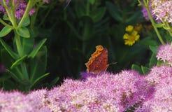 En Kallima inachus Royaltyfria Bilder