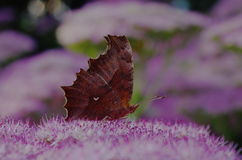 En Kallima inachus Royaltyfria Foton