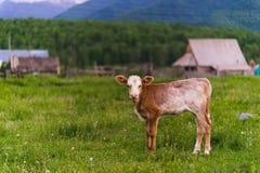 En kalv är brun i byn Se kameran Arkivfoton