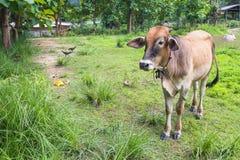 En kalv äter gräs Arkivfoto