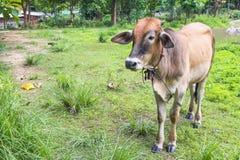 En kalv äter gräs Royaltyfri Fotografi