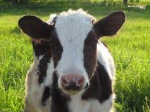 En kalv på ängen royaltyfri foto