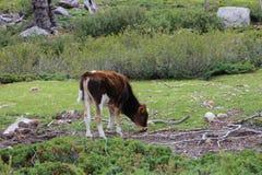 En kalv som betar på ett fält Arkivfoto