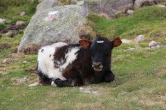 En kalv som ligger på ett fält Fotografering för Bildbyråer