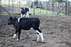 En kalv som spelar med en annan kalv arkivfoto