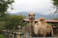 En kamel i en turismlantgård Arkivfoton