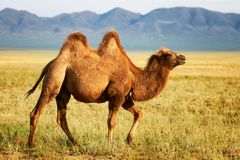 En kamel i mongolia Arkivfoto