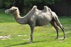 En kamel i zoo Arkivbilder