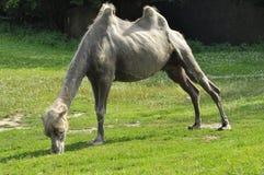 En kamel i zoo, däggdjur Arkivfoto