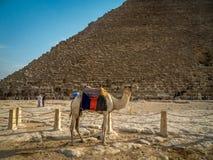 En kamel nära den stora pyramiden av Giza i Egypten arkivfoton