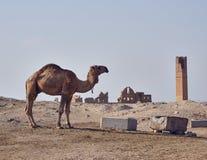 En kamel och äldst universitetremainings i Harran arkivbilder