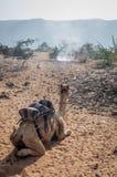 En kamel som vilar i en öken arkivfoto