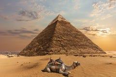 En kamel vid pyramiden av Chephren, Giza, Egypten fotografering för bildbyråer