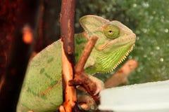 Mr.Chameleon arkivbild