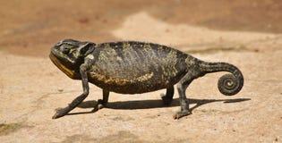 En kameleont som stoppar, innan att ändra färg Royaltyfria Foton