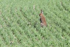 En kanin i ett fält Arkivbilder