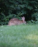 En kanin på en äng Royaltyfria Bilder