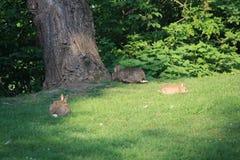 En kaninfamilj söker efter frukosten Royaltyfria Bilder