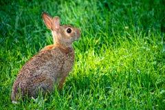 En kaninkanin som sitter upp i gräset arkivfoton