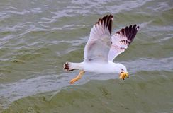 En kapitalistisk seagull med dess rov Arkivfoton